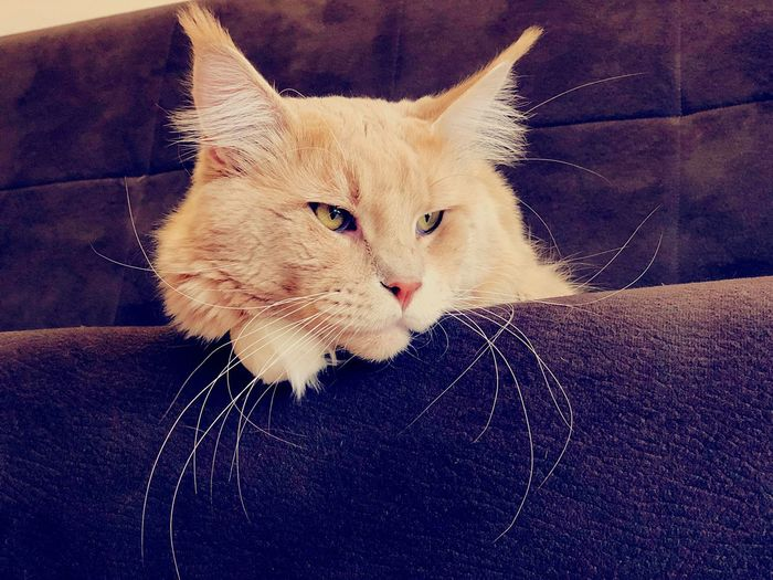 Crosta Amor Mio ❤️ Cat Mainecoon A New Beginning