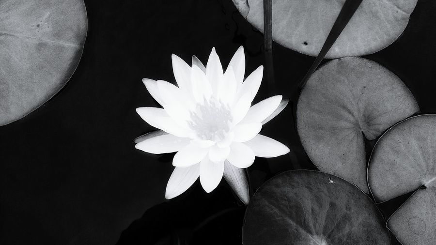 Waterlily 🌷 Flower Petal Freshness Beauty In Nature Single Flower Nature Bnwphotography Bnw_captures Bnw Blackandwhite Outdoors No People Botany Flower