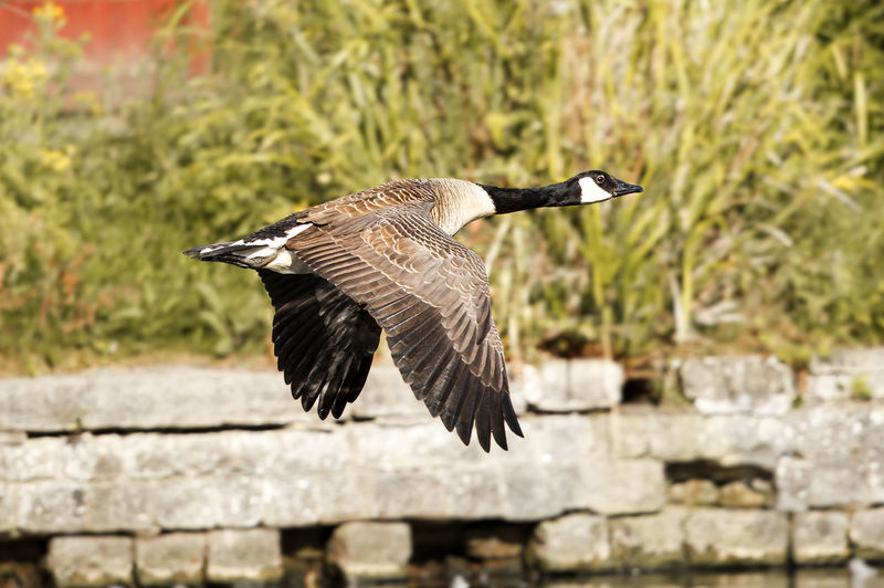Canada goose flying outdoors