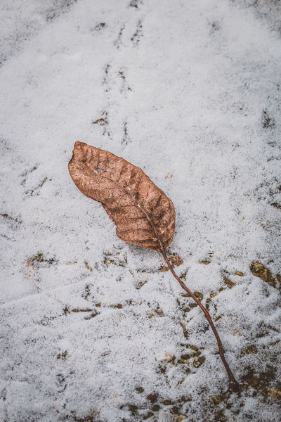 Leaf of walnut tree. Close-up Day High Angle View Leaf Leaf Of Walnut Tree Nature No People Outdoors Snow Track - Imprint White Brown Nusshain 01 17