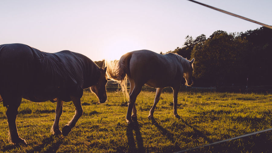 Animal Animal Themes Beauty In Nature Clear Sky Day Domestic Animals Field Golden Hour Grass Grazing Live For The Story Livestock Mammal Nature No People Outdoors Sky Sunlight Sunset Togetherness Tree