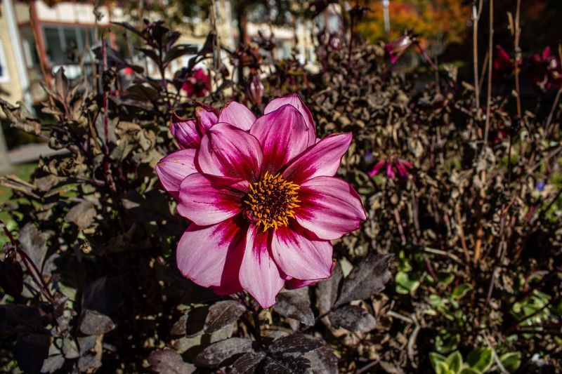 Floder Flower Plant Flowering Plant Freshness Pink Color Petal Beauty In Nature First Eyeem Photo
