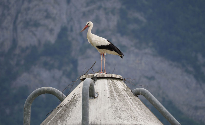White Stork on a roof, about to build a new nest Animal Themes Animal Wildlife Animals In The Wild Bird Birdwatching Bring Me Luck Building A Nest Ciconia Ciconia Farm Life Fauna Kulturfolger Liechtenstein Luck Moving In Nature Nature On Your Doorstep Nest New Home Olympus OM-D E-M1 Mark II Perfect Place Rooftop Storch Stork Weißstorch White Stork