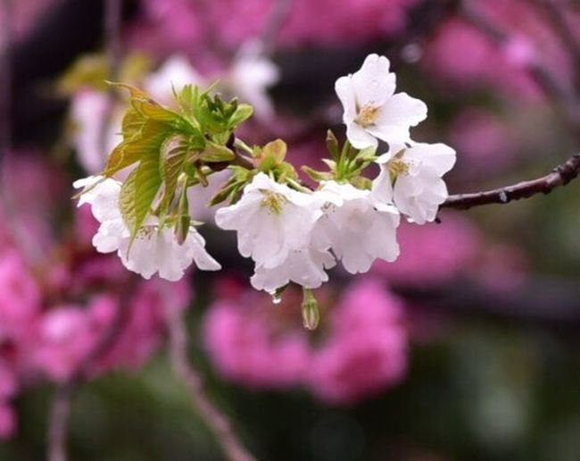 Spring Flowers Nature Photography Flower Collection Flowers Snapshot Colors Cherry Blossoms Japan 桜 Snapshots