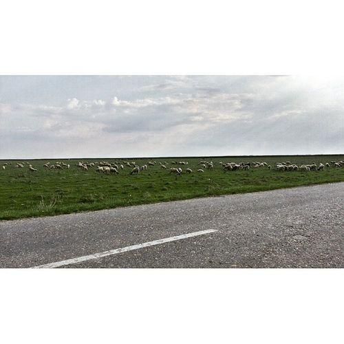Lecenje zivaca Nature Chilling Sheeps Sheep