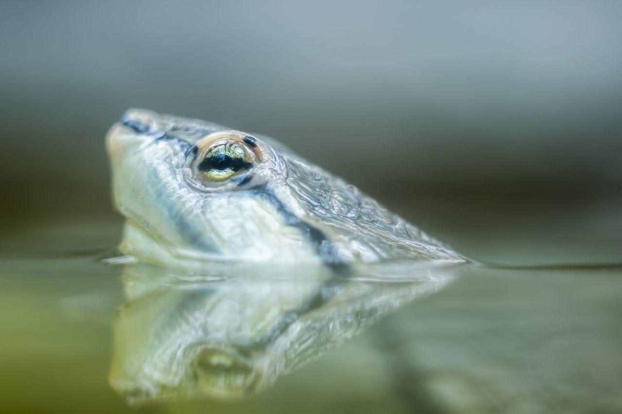 Macro shot of turtle head in water