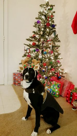 Capone posing in front of the tree with reindeer antlers . Super Sweet! Christmas Tree Christmas Decoration Reindeer Antlers Christmas Sweater Christmas Decoration Dogs Posing Dog Portrait