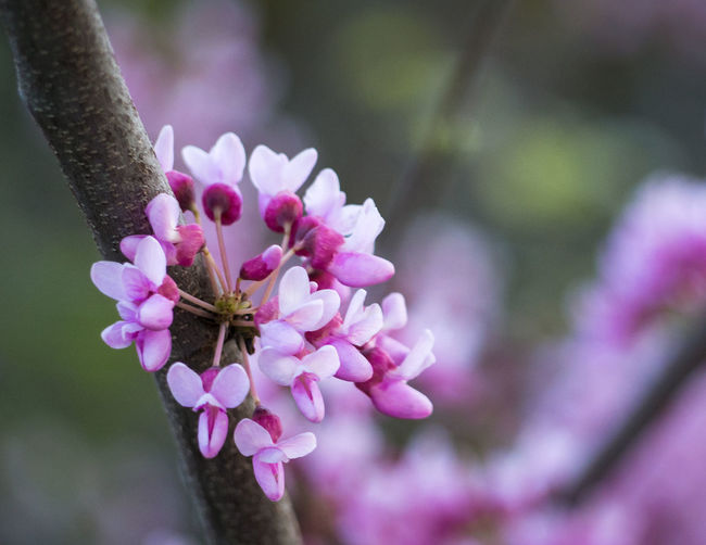 Lilac flowers in the spring Flower Flowering Plant Plant Fragility Growth Beauty In Nature Close-up Pink Color Springtime Day Flower Head Petal Focus On Foreground No People Freshness Colors Outdoors Spring Spring Flowers Garden Tree Blooming Lilac Lilac Flower Canada