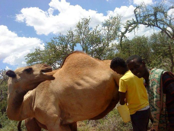 Somali Culture ❤❤Camel