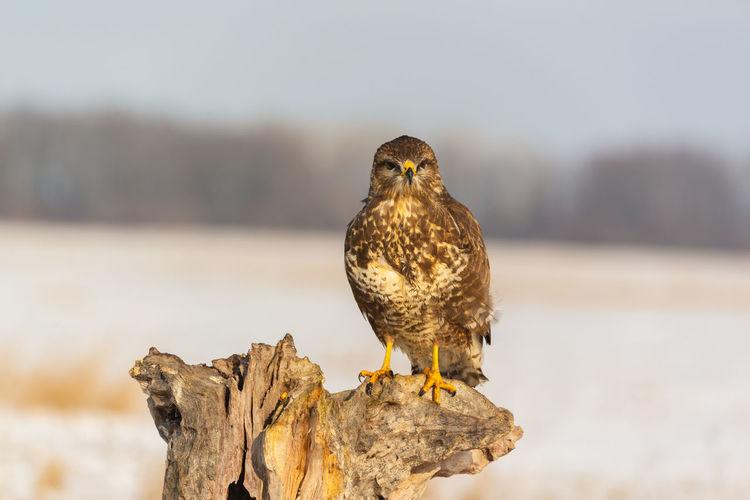 Common Buzzard Buzzard  Buteo Buteo Bird Of Prey Prey Predator Bird Hawk Nature Animal Aves Falcon - Bird Ornitology