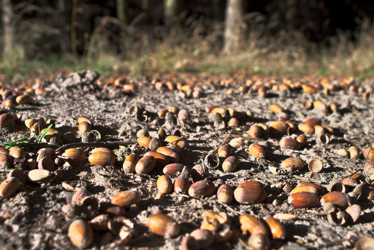 Bilder aus dem Herbstwald Eicheln Herbst Nature Abundance Acorn Close-up Day Field Focus On Foreground Food Food And Drink Germany Ground Land Large Group Of Objects Nature No People Nut Nut - Food Oberlausitz Outdoors Saxony Selective Focus Solid Surface Level