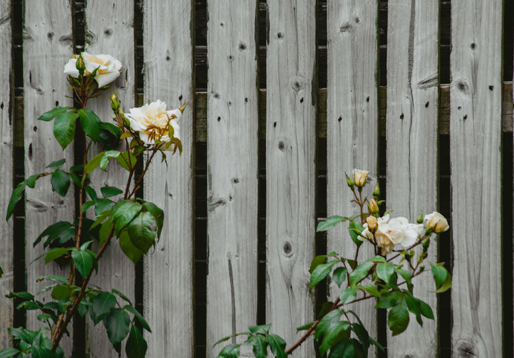Close-up of white flowering plant by fence