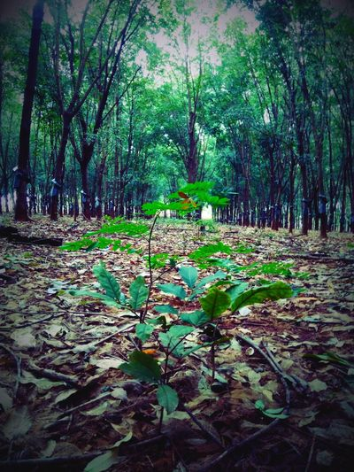 TakeoverContrast It's a little grass in a large forest. Rubber Plantation Gia Lai Viet Nam
