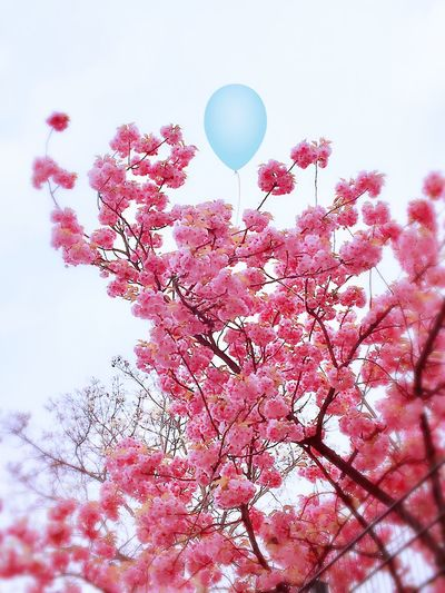 Flowers Balloon Hello World Enjoyinglife  Day Daylight Daytime Growth Tree Blossom Pink Color Spring Flowers Springtime Sky No People Outdoors