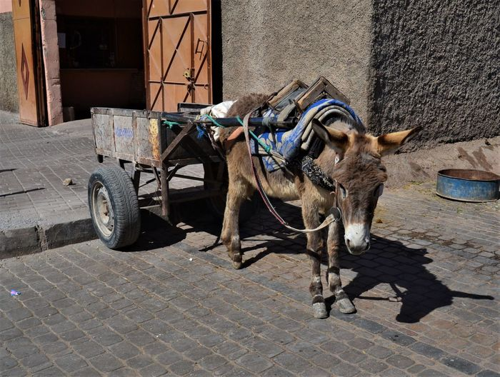Donkey hitched to an unladen cart outside the entrance to the tanneries of Marrakesh, Morocco Domestic Animals Domestic Pets Mammal One Animal Animal Animal Themes Street Transportation Vertebrate Working Animal City Architecture Cart Mode Of Transportation Day Livestock Built Structure Stone Building Exterior No People Paving Stone Outdoors Herbivorous Marrakech Morocco Tanneries Marrakesh Empty Cart The Art Of Street Photography