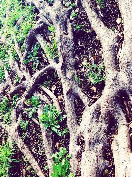 árbol Tree Tree Roots  Raizes