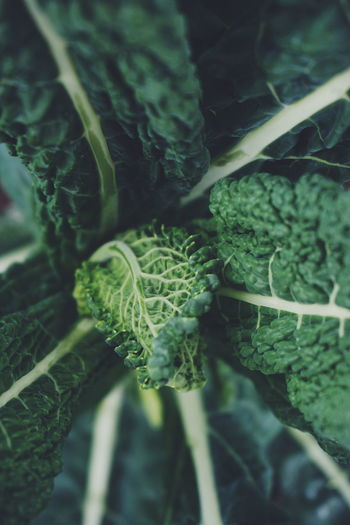 black kale/curly kale Vegetable Leaf Plant Growth Green Color Close-up No People Nature Freshness Day Beauty In Nature Outdoors Thick Curly Kale Black Kale Kale Healthy Healthy Food Vegetarian Food Raw Food Healthy Lifestyle Freshness Vegetables Leafs Agriculture Fresh On Market 2017