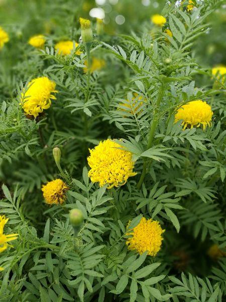 💞💝💕💖💗💟🤘 Flower Yellow Sunflower ทานตะวัน🌻 ดอกทานตะวัน.🌻🌻 ทานตะวัน