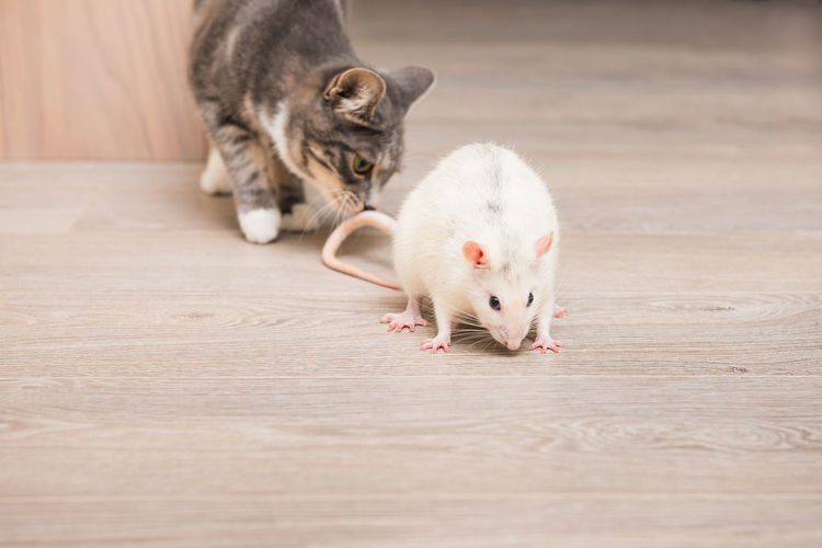Rat Animal Themes Close-up Day Domestic Animals Domestic Cat Food Indoors  Mammal No People One Animal Pets