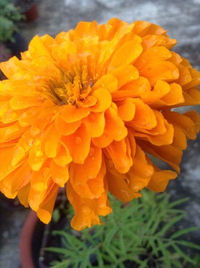 Cempazuchitl Cempasúchil Flower Flor Típica