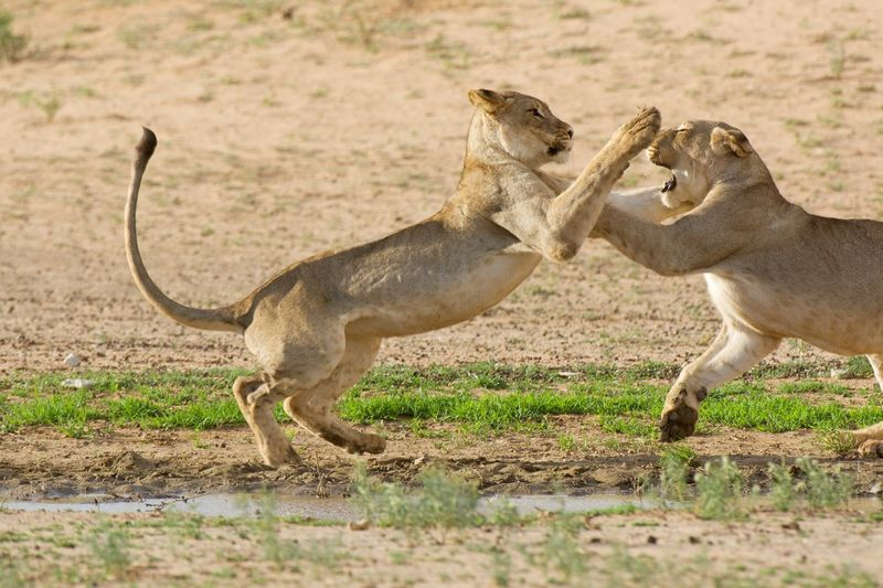 Side view of lions fighting