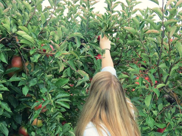 Rear View Of Woman Picking Apples From Tree At Farm