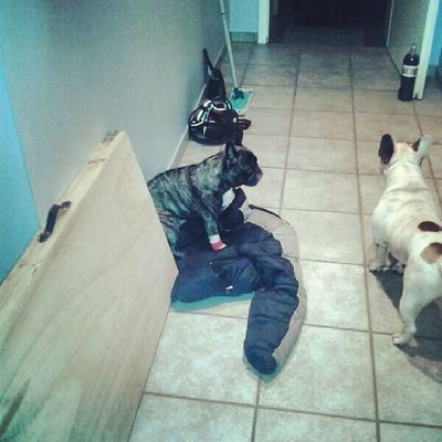 Petstagram Bullstagram Bulldog Frenchie frenchbulldog hund dog donothelp