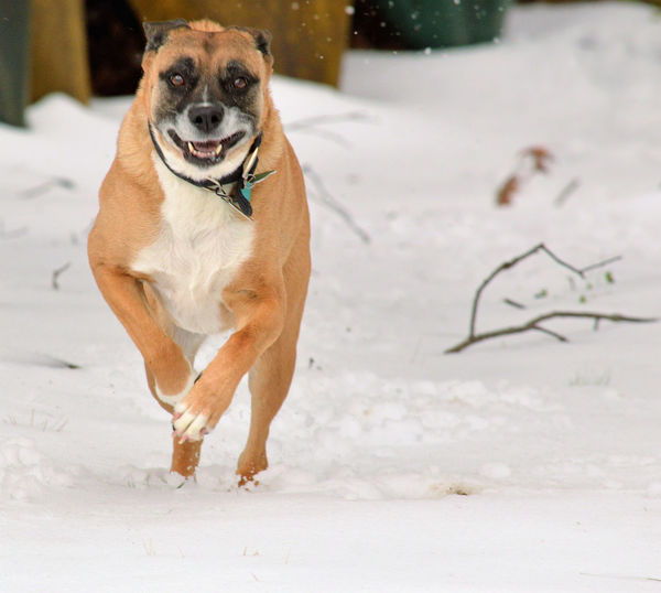 Boxer running in the snow Animal Themes Backyard Boxer Dogs Cold Temperature Dog Domestic Animals No People Pets Powerful Animal Running Dog Snow Winter Winter