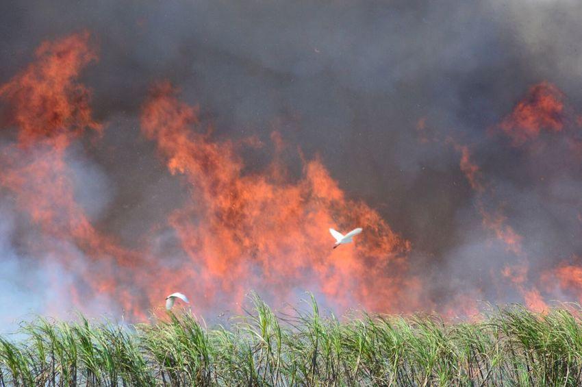 Cane Burn 1/19/2015 Sugarcane