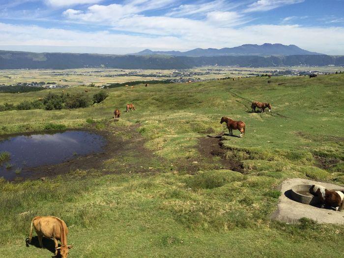 Japan Oct.3 Aso.Volcano Bulls Horses