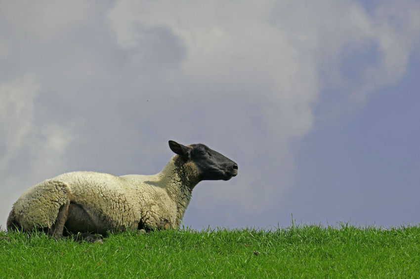 Animal Themes Deich  Domestic Animals Meditation One Animal Ruhe Und Stille Schaf  Sheep