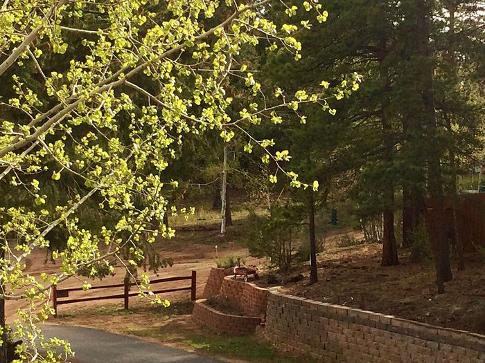 Aspens are popping