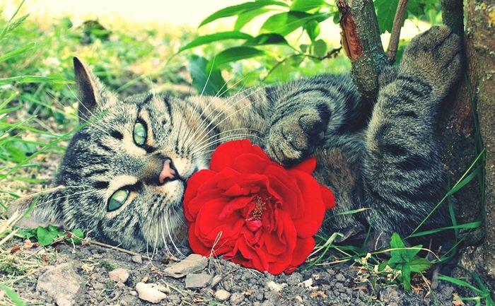 Cat Animal Green Eyes Roses