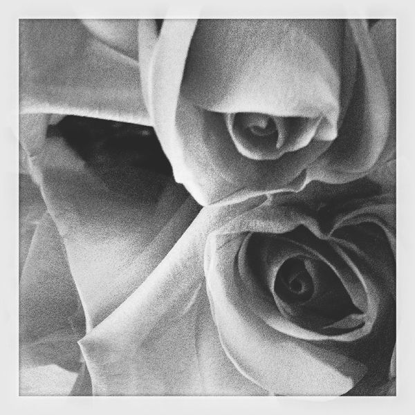 "©Ann Rigley 'm i r r o r, m i r r o r"" EyeEm Flower Black & White Pink Rose IoLIGHTstudios  Reflection"