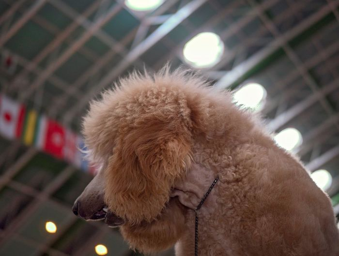 Mammal Close-up One Animal No People Focus On Foreground Illuminated Adventures In The City Vertebrate Canine Brown Looking Dog Poodle Architecture Low Angle View Lighting Equipment Outdoors Day