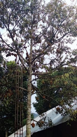 Durian tree of