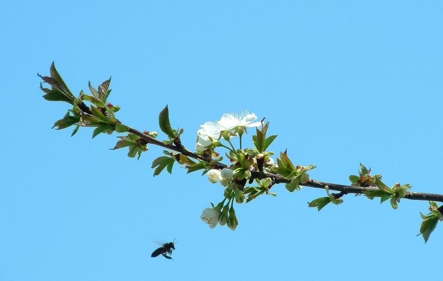 Worker Arrives Bee Blooming Blossom Blue Clear Sky Flower Freshness In Bloom Low Angle View Nature Springtime