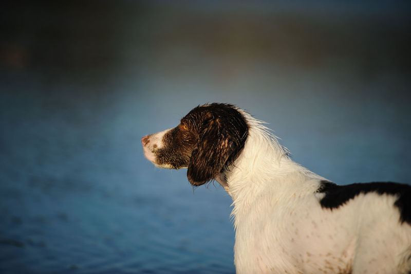 Animal Head  Beauty In Nature Brittany Spaniel Day Dog Mammal Nature Outdoors Portrait Selective Focus Tranquility Water