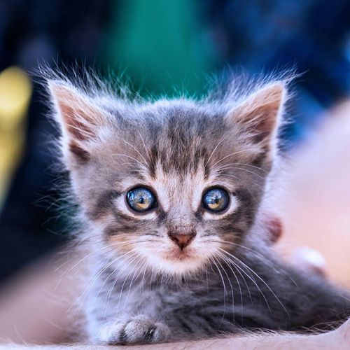 Cat Canon Canon Eos 1100 D 55-200mm Blue Eyes Kitten