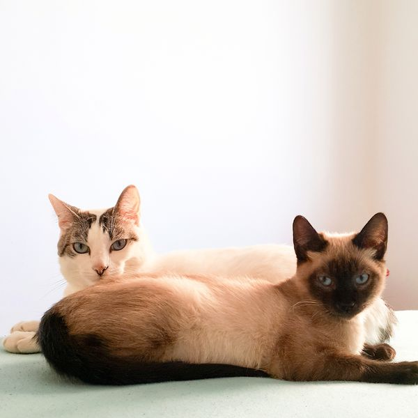 My cats. Pets Pets Corner Pet Cat Cats Cats Of EyeEm Mobilephotography Mobgraphia Mobile Photography Sjc EyeEmNewHere EyeEm Selects Looking At Camera Portrait Domestic Cat One Animal Domestic Animals Animal Themes Cute Feline Animal Siamese Cat