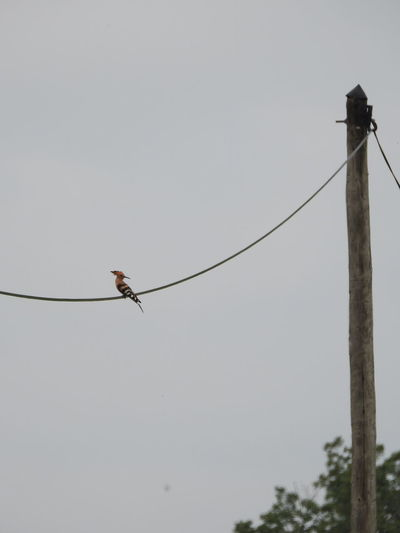 very difficult to photograph Animal Avian Beauty In Nature Bird Cable Day Hoopoe Hoopoe Bird Low Angle View Nature No People Outdoors Perched Perching Pole Sky Tranquility Wildlife