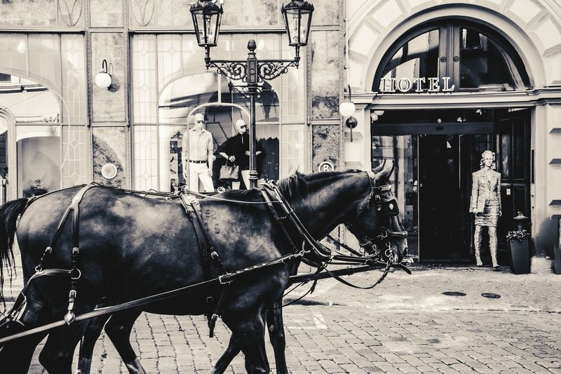Street Photography Black And White Black & White Taking Pictures EyeEm Best Shots Streetphotography My City Prague Horses Urbanphotography