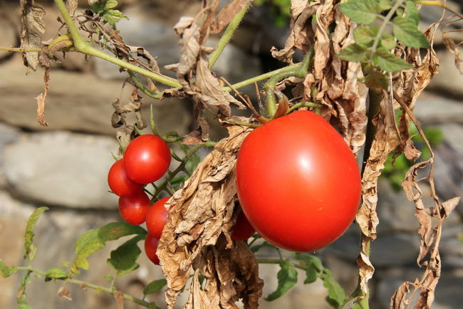 Branch Close-up Day Focus On Foreground Food Food And Drink Freshness Fruit Growth Healthy Eating Leaf Nature No People Outdoors Plant Red Tomato Tree