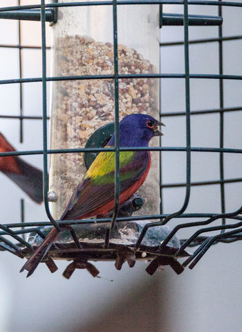 Bright Male Painted bunting bird Passerina ciris forages for food in the bushes and from a bird feeder in Naples, Florida Bright Bright Colors Nature Passerina Ciris Red Avian Bird Blue Bunting Colorful Day Florida Painted Bunting Wild Bird Wildbird Wildlife