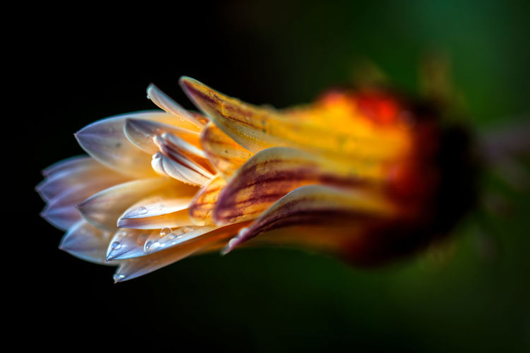 Beauty In Nature Close-up Vulnerability  Petal No People Nature Flowering Plant Flower Flower Head Plant Fragility Orange Color Freshness Inflorescence Black Background Studio Shot Water Growth Outdoors Marine