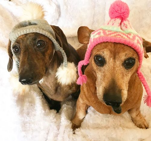 we're ready for some snow fun Dachshund Christmastime Portrait Photography Dog Dogs Christmas Portrait Animal Pet Clothing Cute Looking At Camera Dachshund Animal Themes Domestic Animals Portrait Indoors