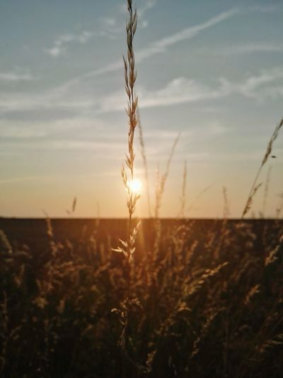 I have caught a sun hiding. 🌞🌾 Wheat Field Evening July Picture Of The Day Germany Adventure Countryside Outskirts See The Invisible Sun Sunlight Picturesque Nature Naturelover Wanderlust Adventureseeker Weekends Bestshot Photography Exploretheglobe Wonderfulworld Beautiful Reise Rügen Feld Cereal Plant Dawn Rye - Grain Farmland