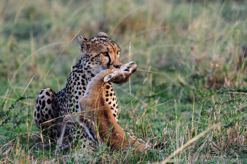 Cheetah with hunted gazelle on field