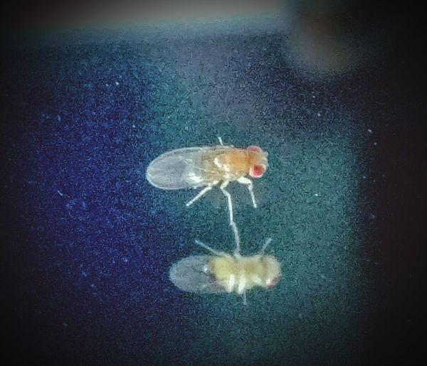 Mirror, Mirror Fly Close-up Insect Bug 4 Legs Diptera Fruit Fly Reflection_collection Reflection Red Eyes Macro No People