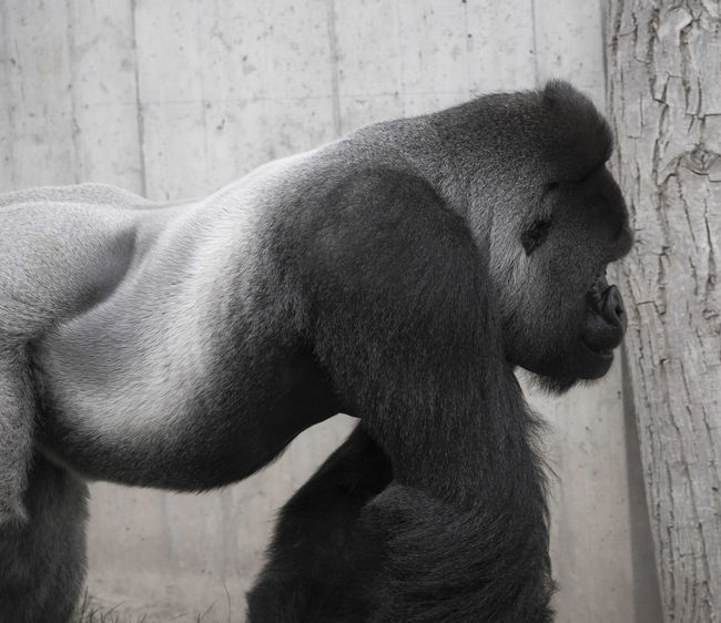The Boss walks in BigBoss EyeEm Best Shots EyeEm Nature Lover FlexoGrafie Animal Themes Animals In The Wild Canon Canonphotography Close-up Day Domestic Animals Gorilla Mammal Nature No People One Animal Outdoors Profile View Sideshot Sideview Silverback Silverback Gorilla